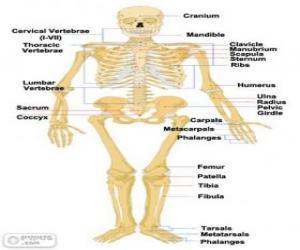 Wonderlijk Menselijk skelet. De botten van het menselijk lichaam (Engels ML-72