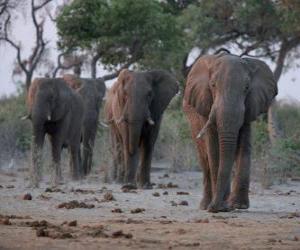 puzzel Afrikaanse olifanten
