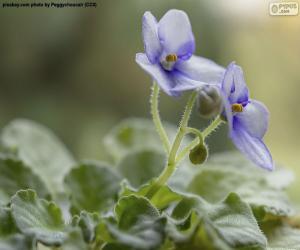 puzzel Afrikaanse Violet Bloemen
