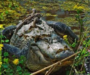 puzzel Amerikaanse alligator, een van de grootste krokodil in de Amerikas, een beschermde diersoort in de VS