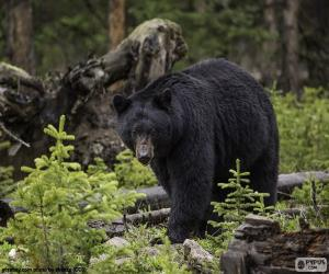 puzzel Amerikaanse zwarte beer