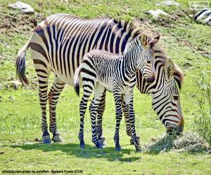 puzzel Baby Zebra en haar moeder