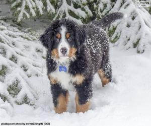 puzzel Berner sennenhond pup