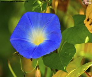puzzel Blauwe morning glory