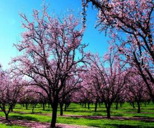 puzzel Bloeiende amandel bomen in het voorjaar van