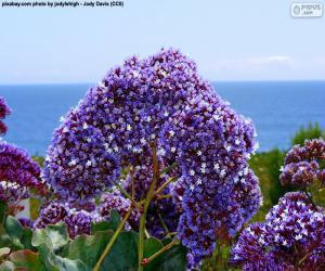 puzzel Bloemen van Limonium perezii