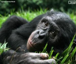 puzzel Bonobo of dwergchimpansee