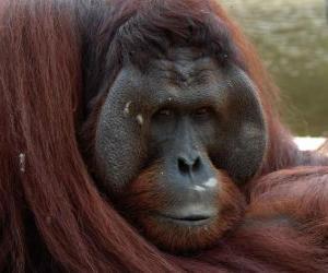 puzzel Borneose orang-oetan