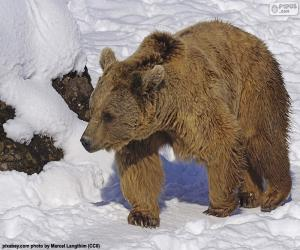 puzzel Bruine beer op de sneeuw