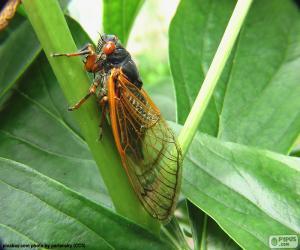 puzzel Cicade