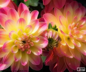 puzzel Dahlia roze en geel