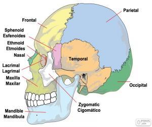 puzzel De beenderen van de menselijke schedel