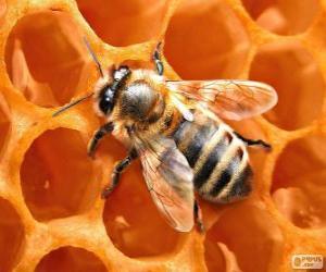 puzzel De honingbij. De bijen die honing produceren