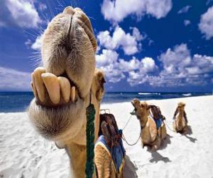 puzzel De kamelen van de Drie Koningen rustend op hun weg naar Bethlehem