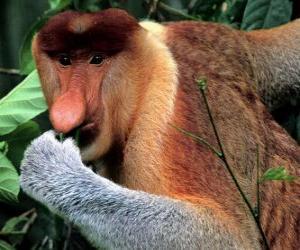 puzzel De neusaap (Nasalis larvatus) is een primaat uit de wouden van Borneo, de enige soort uit het geslacht Nasalis.