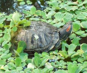 puzzel De roodwangschildpad of roodwangsierschildpad