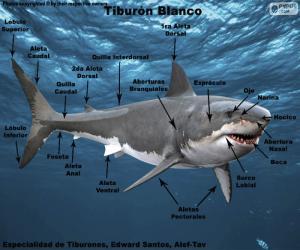 puzzel Delen van de witte haai