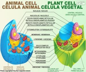 puzzel Dierlijke en plantaardige cellen