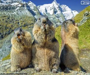 puzzel Drie Alpengrondhogs