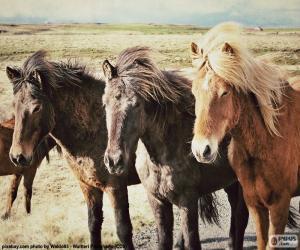 puzzel Drie IJslandse paarden