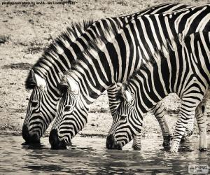 puzzel Drie Zebra's, drinken
