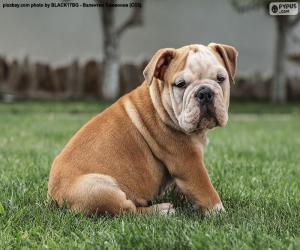 puzzel Engels Bulldog Puppy