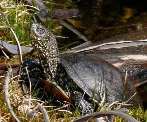 puzzel Europese moerasschildpad