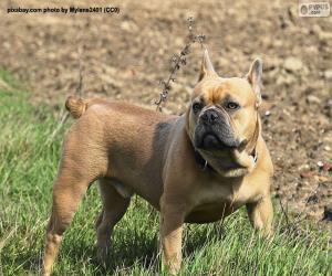 puzzel Franse Bulldog