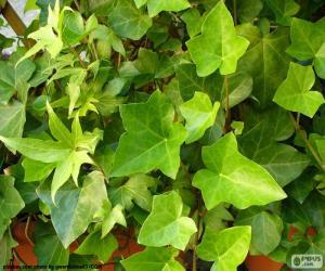 puzzel Gemeenschappelijke Ivy