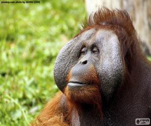 puzzel Gezicht van een mannelijke orang-oetan