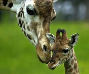 puzzel giraffe met haar baby