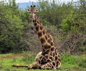 puzzel Giraffe rust