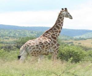 puzzel Giraffe te kijken naar het landschap