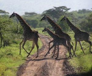 puzzel groep giraffen overschrijding van een weg