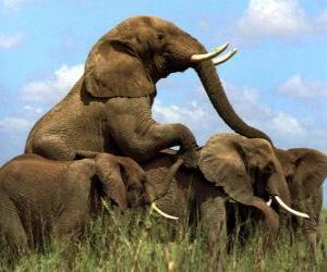 puzzel Groep olifanten, grote tanden