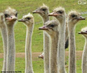 puzzel Groep van struisvogels