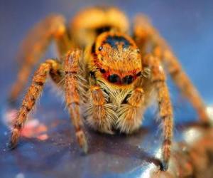 puzzel Harige spider