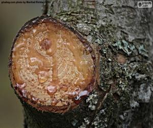 puzzel Hars van een pijnboom