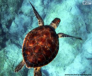 puzzel Hemelkleurige waterschildpad