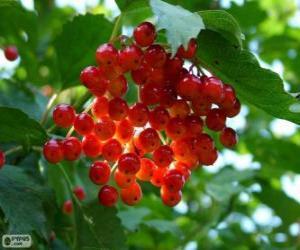 puzzel hulst met zijn rode vruchten