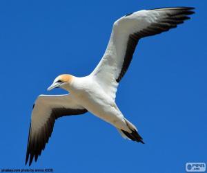 puzzel Jan-van-gent, het vliegen