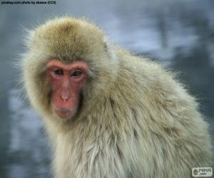 puzzel Japanse makaak