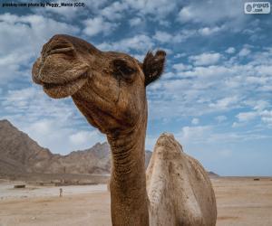 puzzel Kameel in de woestijn