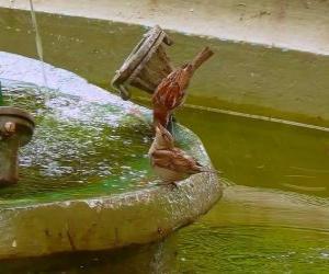 puzzel Kleine vogels spatten in een fontein