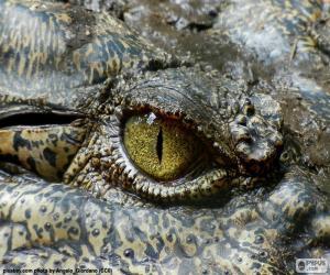 puzzel Krokodil oog