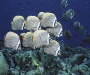 puzzel Kudde van zilverachtig vis