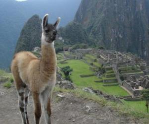 puzzel Lama, het meest bekende dier van het oude Incarijk