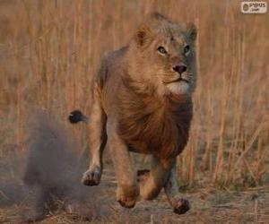 puzzel Lion zijn prooi te jagen