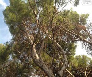 puzzel Mediterrane pine
