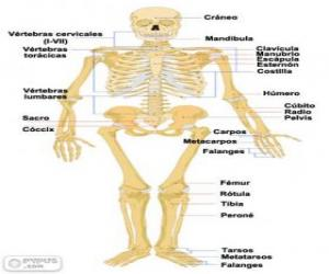 puzzel Menselijk skelet. De botten van het menselijk lichaam (Spaans): www.puzzelpuzzels.nl/puzzels-menselijk-lichaam-puzzels.html